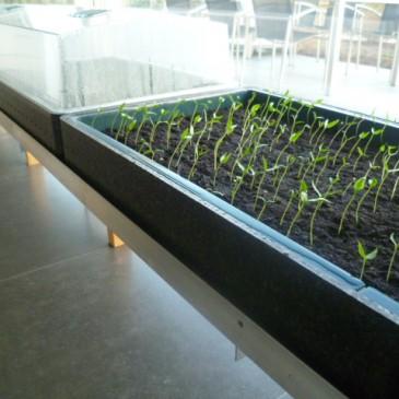 De meeste peperzaadjes kiemen al na 5 dagen