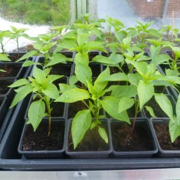 Chili plantjes einde april