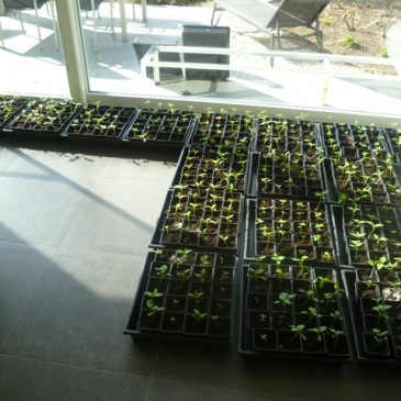 De chili plantjes na 3 weken