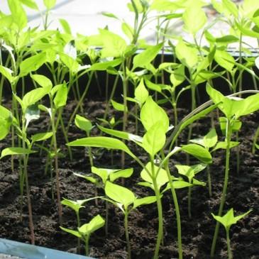 De chili plantjes zijn in potjes geplant