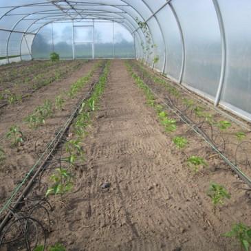 We hebben de peperplantjes dit weekend in de tunnel uitgeplant