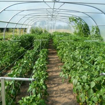 Chili planten einde juli