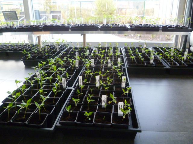 Einde maart is de woonplaats in ee levendig chilipeperkweekbakkenperk herschapen