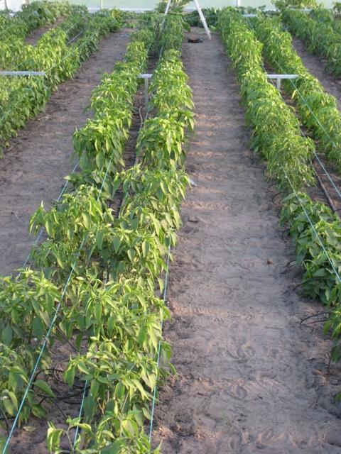 Peperplanten in volle groei