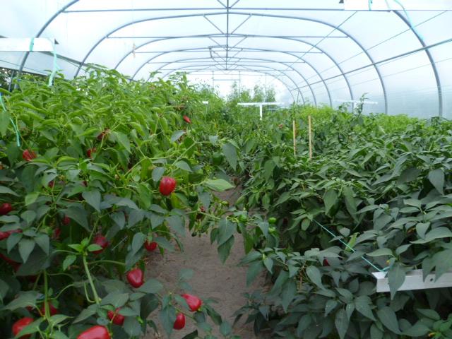 September is de belangrijkste oogstmaand voor chilipepers
