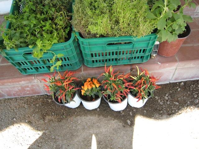 Corfu: peperplantjes