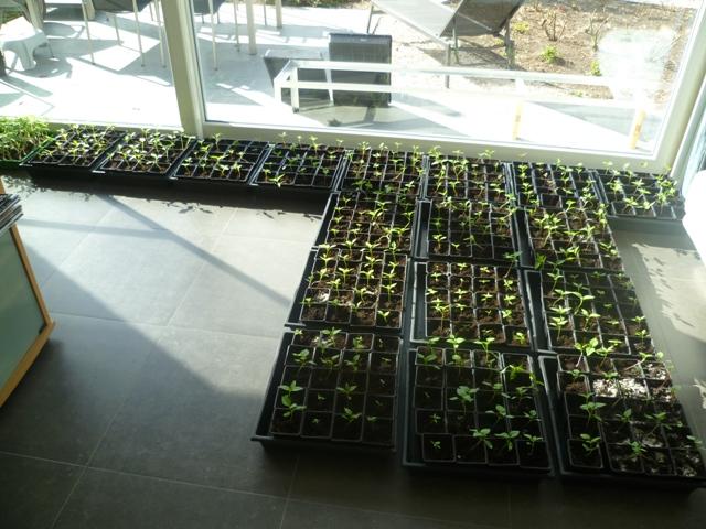 En in april zijn ze uitgeplant in plantpotten, nog steeds aan het raam in de living