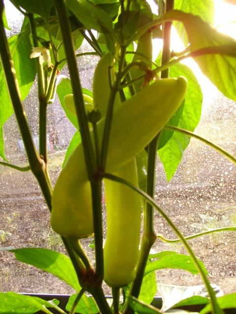 Hungarian Wax pepers in de opkomende ochtendzon