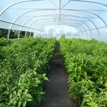 Chili pepers kweken: Van jonge plant tot vruchtzetting (7/8)
