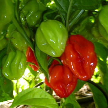 Antillais Carribean Habanero