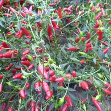 Chilipepers: planning van het nieuwe seizoen – artikel in Cashew Stadstuinieren