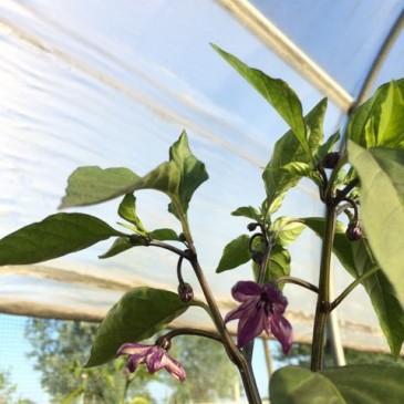 Black Hungarian Wax plant en bloemen