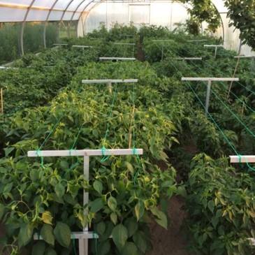 Chilipeperplanten in volle groei, vruchtgroei is volop bezig
