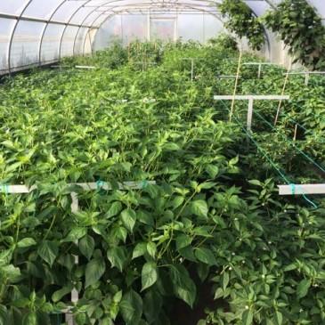 Chili planten 28 juli in uitbundige groei