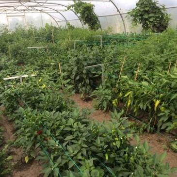 Chili Jungle