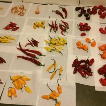 Zaadjes van chili pepers