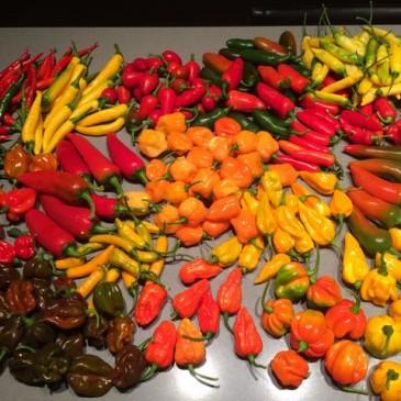 Laatste maand voor levering van verse chilis